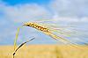Złoto pszenicy ucho | Stock Foto