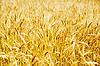 Golden barley | Stock Foto
