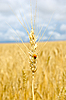 Ear of wheat with ladybird | Stock Foto