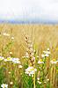 Kłos pszenicy z kwiatami | Stock Foto