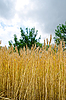 Field with ears of wheat | Stock Foto