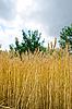Pole z uszy pszenicy | Stock Foto