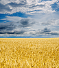 Golden field under dramatic sky | Stock Foto