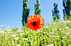Mohn-Blume | Stock Photo