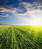 ID 3091249 | Cebada verde en la puesta del sol | Foto de alta resolución | CLIPARTO