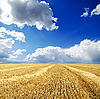 Harvest in windrows under cloudy sky | Stock Foto