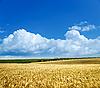 Field of wheat under cloudy sky | Stock Foto