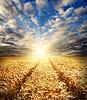 Pole pszenicy złota na zachodzie słońca | Stock Foto