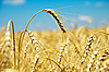 Ripe wheat ears against sky | Stock Foto