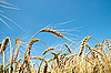 Gold wheat under blue sky | Stock Foto
