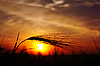 Ears of ripe wheat on sunset | Stock Foto