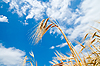 Złoto pszenicy pod błękitne niebo | Stock Foto