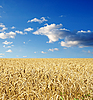 Gold ears of wheat under sky | Stock Foto