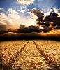 Droga w polu złota uszy pszenicy | Stock Foto