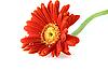 鲜艳的红色非洲菊水滴 | 免版税照片