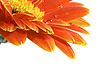 非洲菊水滴 | 免版税照片