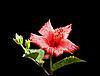 中国玫瑰与露珠 | 免版税照片