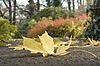 Ahornblatt auf der Erde gegen Herbst. Eine Nahaufnahme | Stock Foto