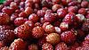 野草莓 | 免版税照片