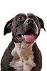 Photo 300 DPI: Portrait of the american staffordshire terrier