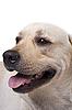 Portrait of the caucasian sheep dog | Stock Foto