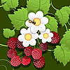 Vector clipart: raspberry