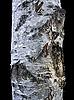 Birch Tree Bark | Stock Foto