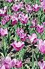 Tulips   Stock Foto