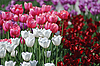 Flower background of tulips   Stock Foto