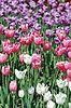Tulpen | Stock Foto
