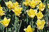 Yellow tulips   Stock Foto
