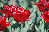 Red tulips   Stock Foto