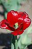 Red tulip   Stock Foto