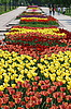 Colorful tulips rows - flowerbed in city park   Stock Foto