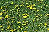Coltsfoot bloom on green background , Tussilago farfara   Stock Foto
