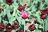 ID 3205435 | Pink and red tulips | High resolution stock photo | CLIPARTO