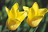 Two yellow tulips | Stock Foto