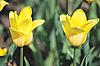 ID 3205437 | 두 개의 노란색 튤립 | 높은 해상도 사진 | CLIPARTO