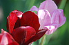 Two red and pink tulips   Stock Foto