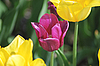 Violet and yellow tulips | Stock Foto