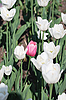 One pink tulip tulips in background   Stock Foto