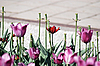 One red tulip on pink tulips in background   Stock Foto