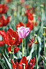 One pink tulip on red tulips in background   Stock Foto