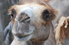 Z twarzy, transportu wielbłąd na pustyni | Stock Foto