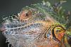Photo 300 DPI: Green horned iguana face