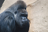 Of big black hairy gorilla | Stock Foto