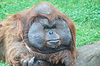 Z ogromny samiec orangutana | Stock Foto
