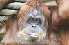 Of huge female orangutan | Stock Foto