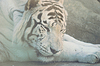 Rare white tiger lying on rock in zoo | Stock Foto