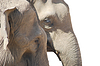 Couple of asian elephants in love, animal family pair | 免版税照片